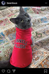 Grey cat wearing a red Grinnell College shirt