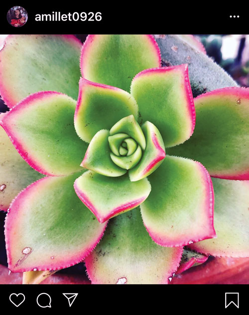 Green succulent with leaves edged in hot pink