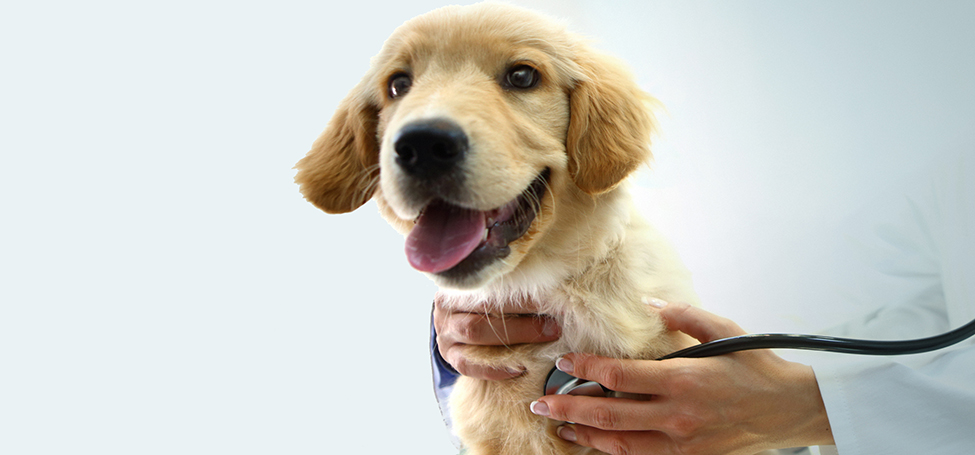 Vet working with dog